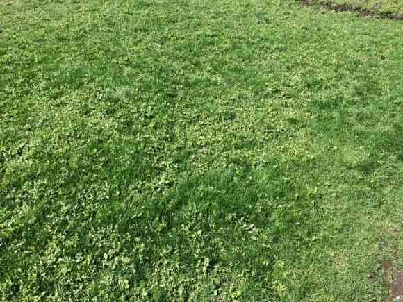 芝を刈る前の状態