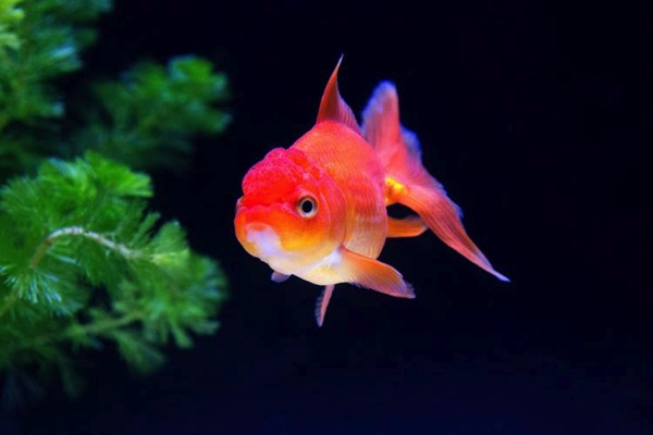 ただよう金魚