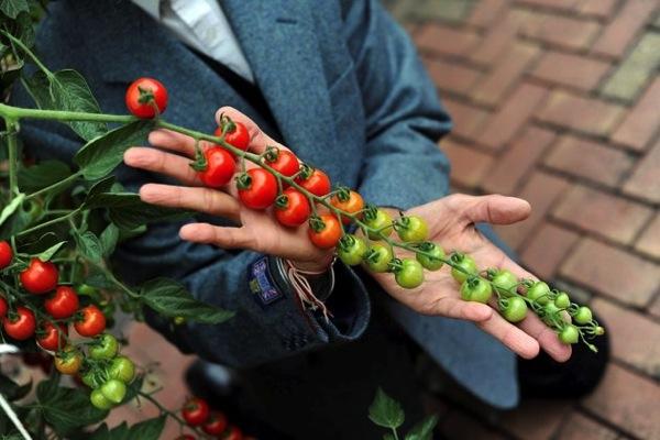 """""""1355個のトマト""""がギネス世界記録に。1粒の種から実りました"""