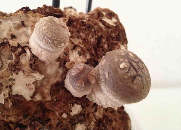 生まれたばかりのシイタケを、お家で観察、育てて食べようーーキノコ栽培の話
