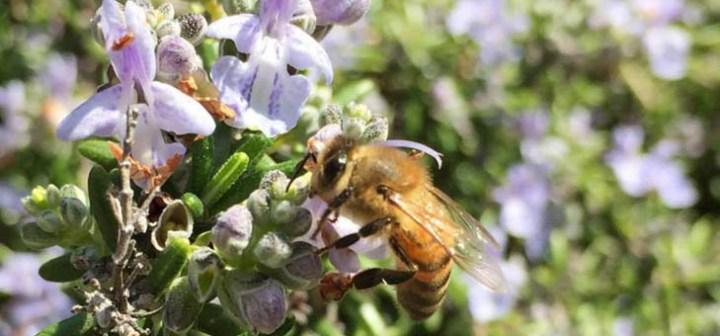 ミツバチは冬を乗り越え、春のハーブに飛んでいく。越冬と蜜源のこと