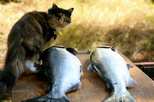 cat with 2 fish
