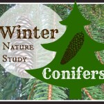 Winter Conifer Walk