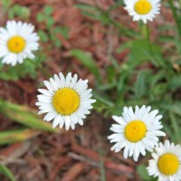 Daisies and More - Flower Friday