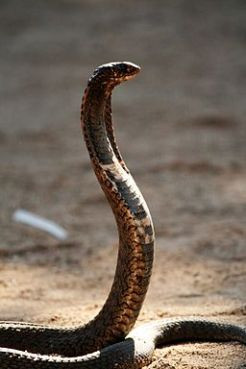 Snake, photo by Lee R. Berger