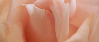 Pink_rose___Flickr_-_Photo_Sharing_