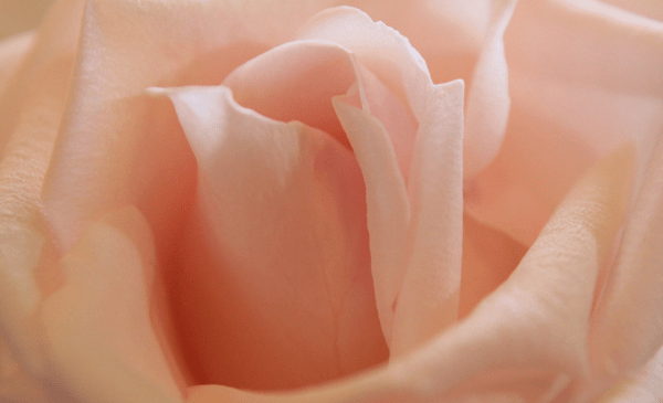 Pink_rose___Flickr_-_Photo_Sharing_