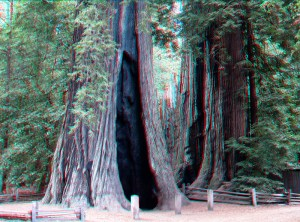 Redwoods in Big Basin (photo from USGS)