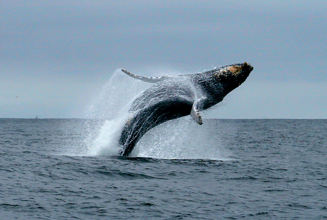 Breaching whale  Photo from Sub Seas Tours
