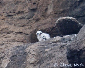 peregrine, Morro Bay, CA, chicks