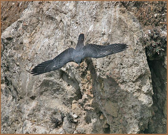 peregrine, falcon, stoop, cliff racing