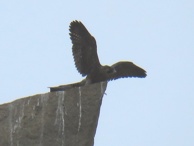 Juveniles peregrine falcons on first flight