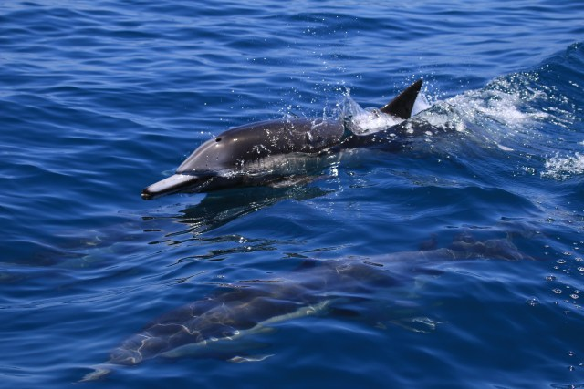 Common Dolphin    Photo by Heather O'Connor