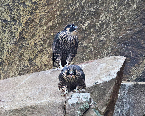 Introducing the young falcons Photo by Cleve Nash