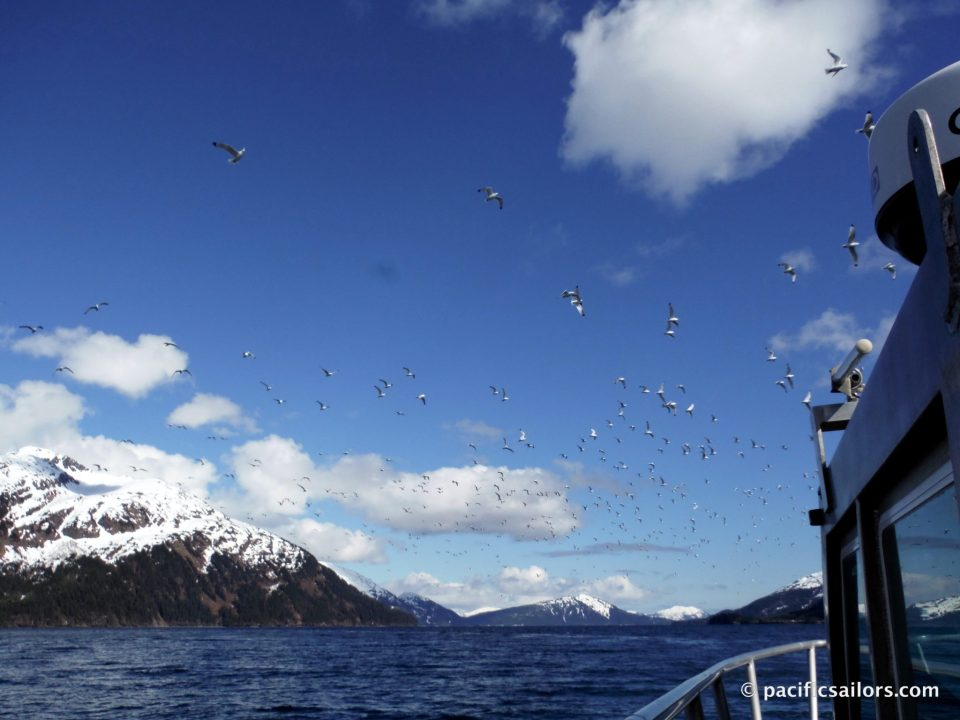 Kittiwakes in Prince William Sound