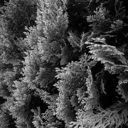 cypress branches black and white photograph No.1