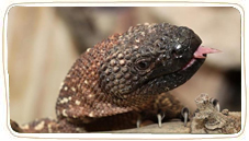Animals-Reptiles-Lizards-Beaded