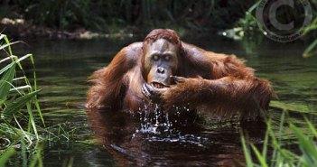 Immature male orangutan drinking, Borneo. Bornean orangutan (Pongo pygmaeus pygmaeus)