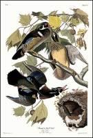 audubon_woodduck_big