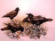 lansdowne_crows_big
