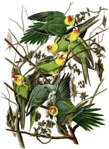 audubon_carolina-parakeet