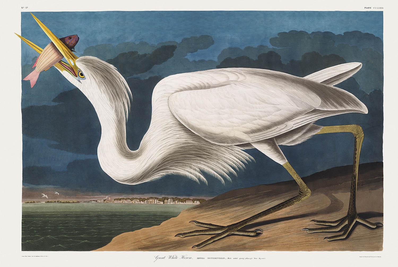 john-james-audubon_great-white-heron