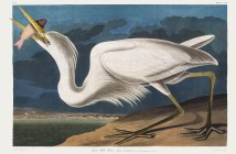 john-james-audubon_great-white-heron