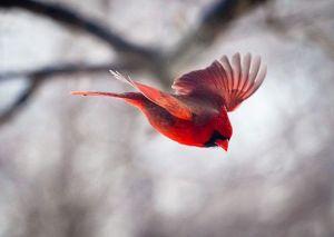 pajaro-rojo