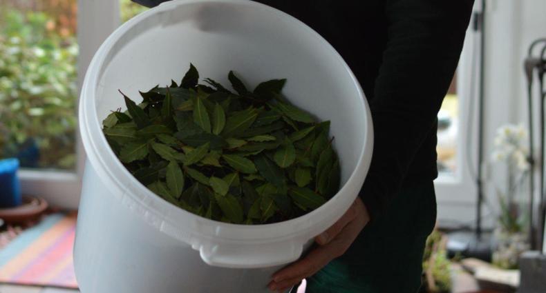 bay leaves harvest bucket