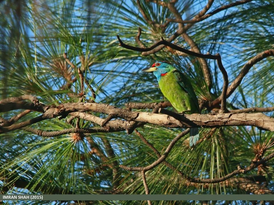 Blue-throated Barbet (Megalaima asiatica) captured at Margalla, Islamabad, Pakistan