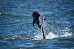 Dolphin are seen jumping from the Kokomo