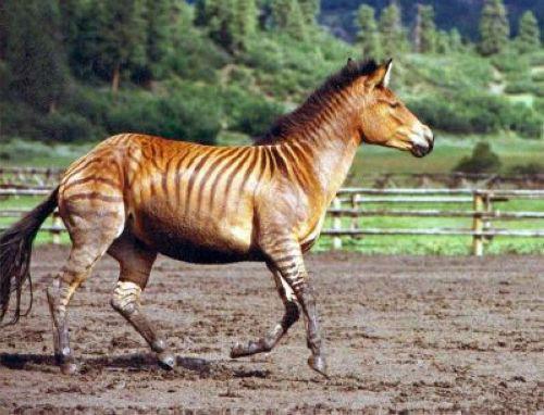 Zorse - zebra and horse hybrid