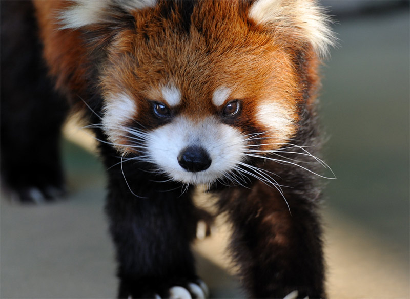 Red panda with an angry face