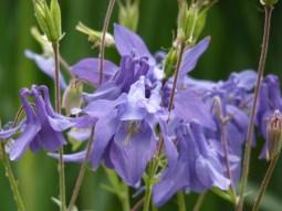 Ancolie bleue