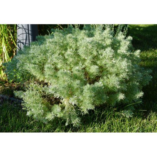 Medium Crop Of Silver Mound Artemisia