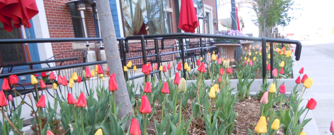 tulips in front of victorian peaks building in old town parker colorado