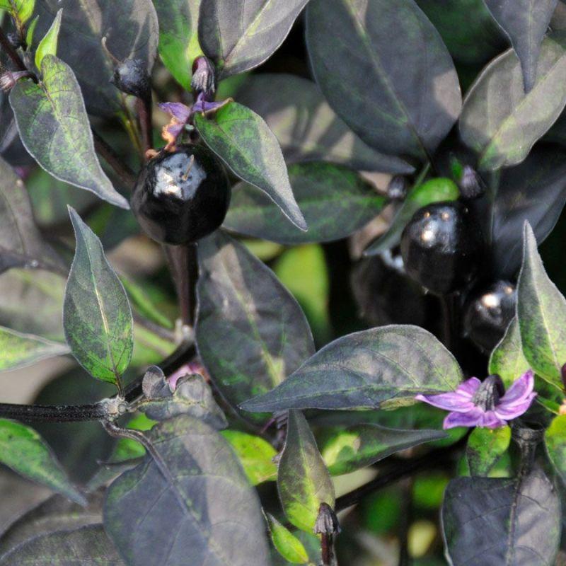 Large Of Ornamental Pepper Plant
