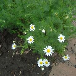 Bright daisies along the curb