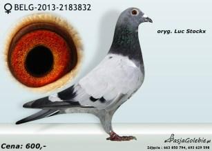RODOWOD-BELG-2013-2183832