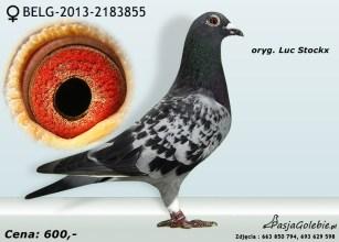 RODOWOD-BELG-2013-2183855