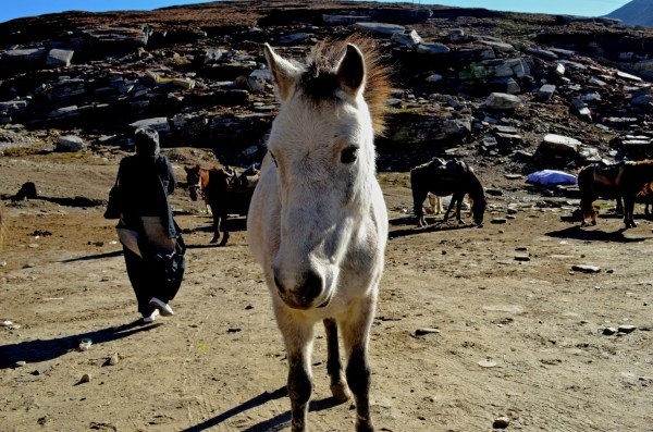 Journey to Kaza - The friendly ponies at Rohtang...