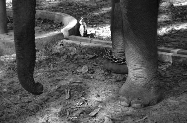 At Dudhwa National park... for the elephant safari... chained elephant!