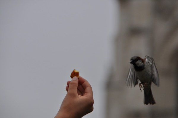 The sparrow hovering...