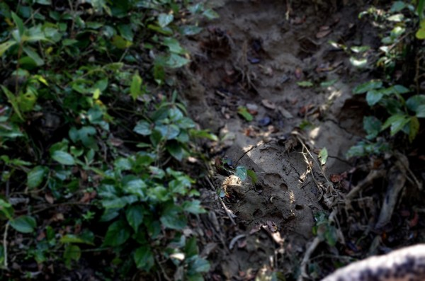 Tiger pugmarks in wet earth can be quite a giveaway of where they could be