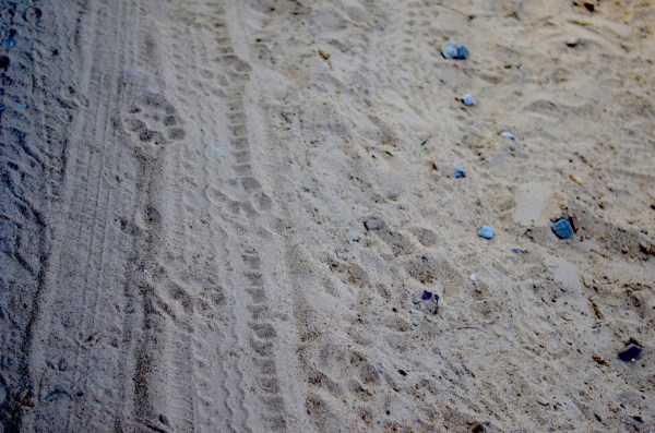 Tiger pugmarks clicked in Ranthambore