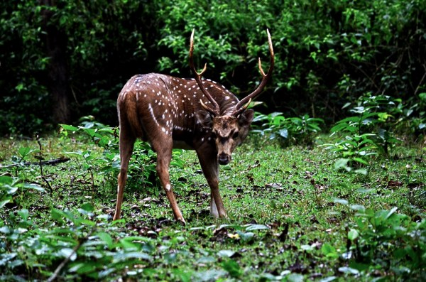 Bandipur and Kabini - The Spotted Deer is always curious and alert!