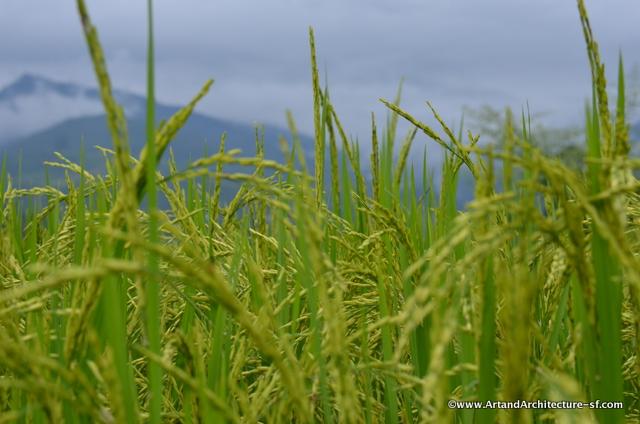 Bhutan Rice Fields