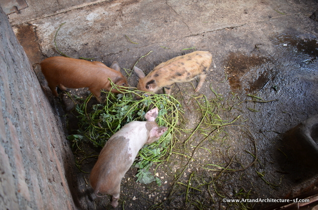 Pigs are kept in the backyard.
