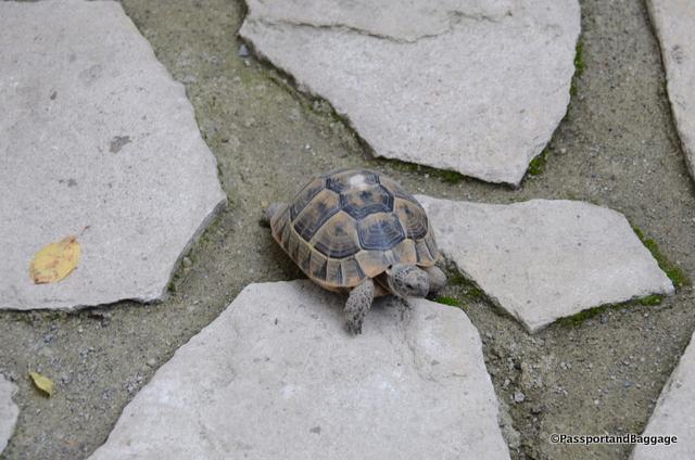 The hotel's tortoise.