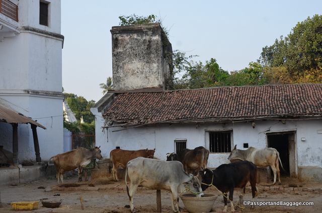Cows in a stable that looks like it has always been a stable building